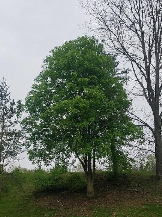 Web Ready Ohio Buckeye Tree